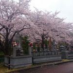 平成29年度 桜満開 埼玉の公園墓地 庄和苑