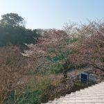 平成30年 桜開花情報 埼玉の公園墓地 庄和苑