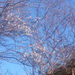 梅が咲きました。 埼玉の公園墓地 庄和苑