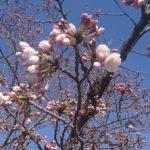 平成30年 桜開花 埼玉の公園墓地 庄和苑